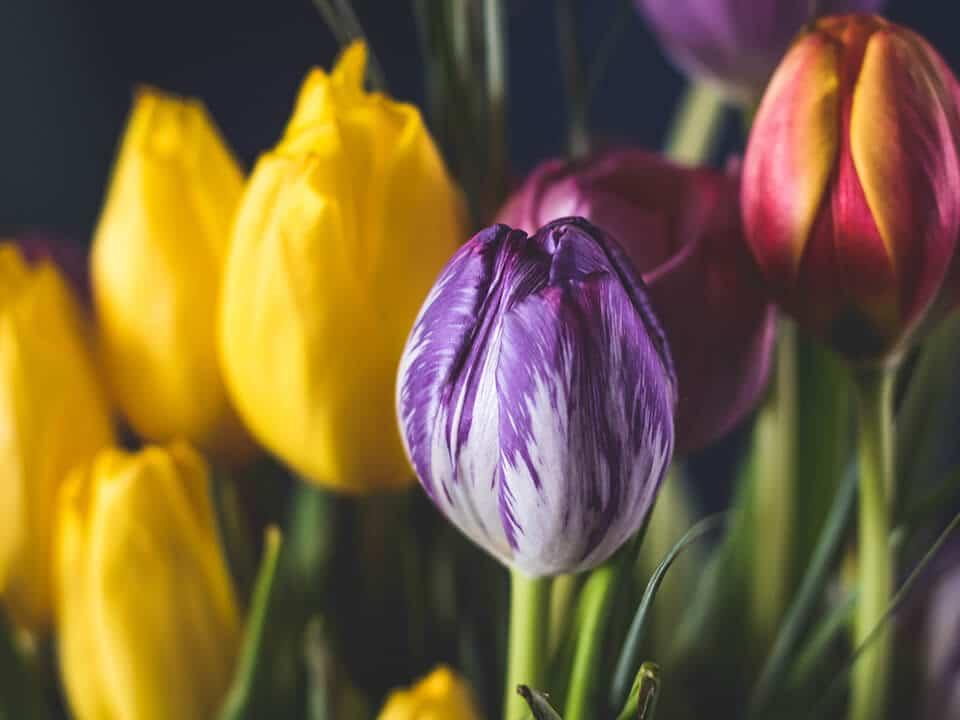 Gelbe Tulpen gehören im Frühling in jeden Garten